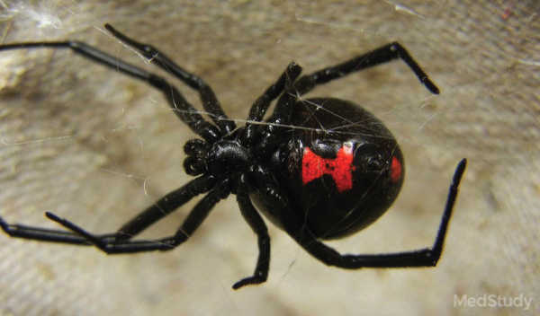 Black widow spider—note the red/orange hourglass on the ventral abdomen